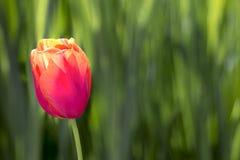 在绿色背景的唯一郁金香花 库存图片