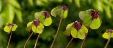 在绿色背景的四片叶子三叶草 免版税库存图片