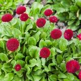 在绿色背景的洋红色雏菊花 免版税库存图片