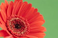 在绿色背景的明亮的红色大丁草 免版税库存照片