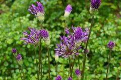在绿色背景的明亮的紫罗兰色野花 库存照片