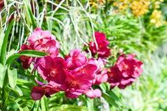 在绿色背景的桃红色兰花 花 兰花,泰国orc 免版税库存照片