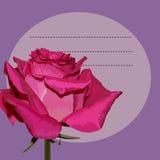 在紫色背景的桃红色玫瑰 库存图片