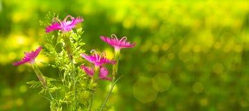 在绿色背景的桃红色花 库存图片