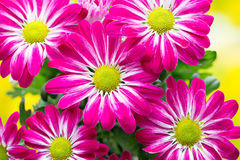在黄色背景的桃红色菊花 库存图片
