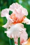 在绿色背景的桃红色虹膜花 免版税图库摄影