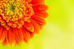 在黄色背景的橙色大丁草雏菊花 免版税库存照片
