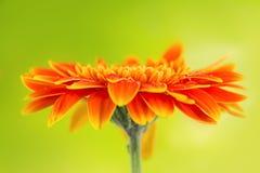 在黄色背景的橙色大丁草雏菊花 免版税库存图片