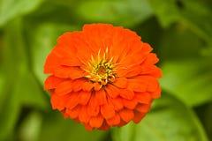 在绿色背景的橙色百日菊属 免版税库存照片