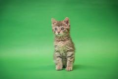 在绿色背景的灰色平纹小猫 免版税库存照片