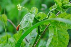 在绿色背景的瓢虫 库存图片