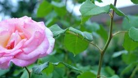 在绿色背景的白桃红色玫瑰色特写镜头 照相机运动下来从一朵花到另一个 股票视频
