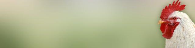在绿色背景的白色公鸡 免版税库存照片