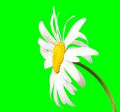 在绿色背景的白色春黄菊 免版税图库摄影