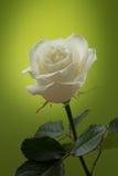 在绿色背景的白色玫瑰 免版税图库摄影
