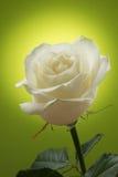 在绿色背景的白色玫瑰 免版税库存照片