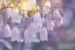 在紫色背景的白花响铃 免版税库存照片