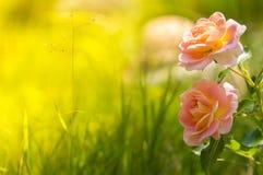 在绿色背景的精美香水月季 安置文本 美丽的浪漫玫瑰 选择聚焦 库存照片