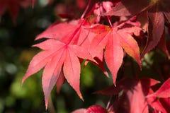 在绿色背景的红槭叶子 免版税库存照片