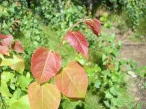 在绿色背景的红色叶子 免版税库存图片