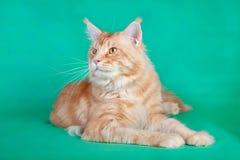 在绿色背景的红色缅因树狸猫 库存图片