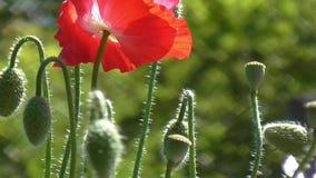 在绿色背景的红色鸦片 鸦片特写镜头在一个晴天 股票录像
