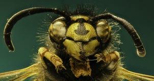 在绿色背景的红色黄蜂 免版税库存照片