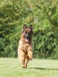 在绿色背景的纯血统德国牧羊犬狗 图库摄影