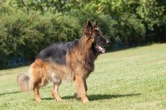 在绿色背景的纯血统德国牧羊犬狗 库存图片