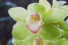 在绿色背景的美丽的兰花在自然 库存照片