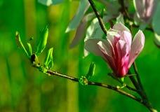 在绿色背景的美丽的桃红色木兰花 免版税图库摄影