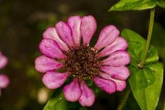 在绿色背景的美丽的桃红色百日菊属花 免版税库存照片