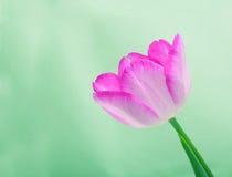 在绿色背景的美丽的桃红色郁金香花 库存图片