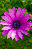 在绿色背景的美丽的深紫色的菊花花 图库摄影