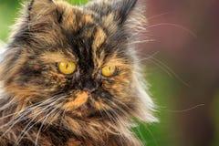 在绿色背景的美丽的猫 免版税库存照片