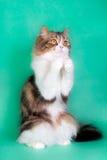 在绿色背景的美丽的蓬松小猫 免版税库存照片