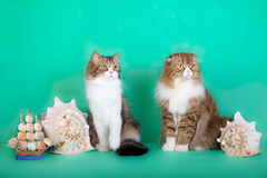 在绿色背景的美丽的蓬松猫 免版税图库摄影