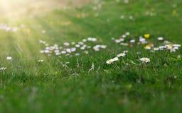 在绿色背景的草甸春黄菊 库存照片