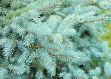在绿色背景的蓝色云杉的分支 蓝色云杉、绿色云杉、白云杉、科罗拉多云杉或者科罗拉多蓝色云杉 免版税库存照片