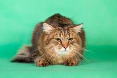 在绿色背景的蓬松西伯利亚猫 库存图片