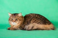 在绿色背景的蓬松西伯利亚猫 免版税库存图片