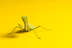 在黄色背景的螳螂 库存照片