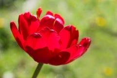 在绿色背景的豪华的红色郁金香特写镜头 免版税库存照片