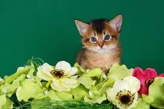 在绿色背景的逗人喜爱的索马里小猫 免版税库存照片
