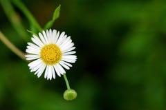 在绿色背景的雏菊花 免版税库存照片