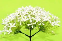 在绿色背景的雏菊 免版税库存图片