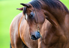在绿色背景的马画象 免版税库存图片