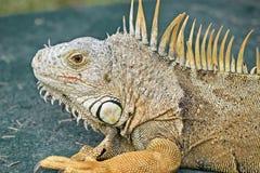 在绿色背景的鬣鳞蜥 免版税库存图片