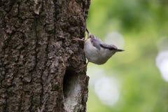 在绿色背景的鸟 五子雀坐树皮在巢和神色附近  在春天的五子雀类europaea 免版税库存图片
