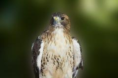 在绿色背景的鹰 免版税库存照片